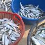 Nhộn nhịp mùa khai thác cá trích ở bãi ngang TT-Huế