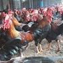Người nông dân chú ý: dịch cúm gia cầm đang có dấu hiệu bùng phát