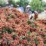 Xuất khẩu hơn 6.000 tấn vải thiều Thanh Hà bằng đường biển