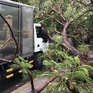 Lại có một cây phượng bật gốc đè trúng xe tải