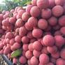Chuyên gia Nhật sang Việt Nam trực tiếp giám sát xuất khẩu vải thiều