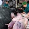 Giá lợn hơi giảm nhưng bấp bênh