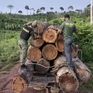 Đột kích hàng chục xưởng gỗ, triệt phá băng đảng phá rừng Amazon