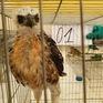 Bắc Kạn: Tịch thu 20 cá thể chim săn mồi tại nhà dân