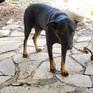 Toàn vết chân chó ở khu vực nghi có 2 con báo đen xuất hiện