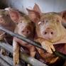 Mỹ chuẩn bị kịch bản virus cúm lợn G4 có thể thành đại dịch ở người