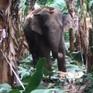 Voi rừng liên tục xuất hiện ở Đồng Nai