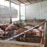 Nguồn cung tăng dần, giá lợn hơi giảm mạnh