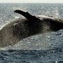 Độc đáo màn trình diễn của cá voi lưng gù
