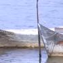 Quảng Trị: Người dân đầu tư thuyền lồng nuôi cá tránh lũ
