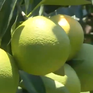 Đắk Lắk: Cấp mã vùng trồng cho các loại quả