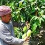 Chống mạo danh vùng trồng để xuất khẩu nông sản