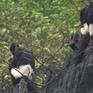 Bảo tồn khẩn cấp loài voọc mông trắng tại rừng Kim Bảng