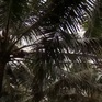 Bến Tre phát triển chuỗi liên kết dừa uống nước