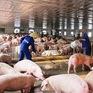 """Người chăn nuôi lợn đang """"khóc dở, mếu dở"""""""