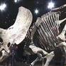 Đấu giá hóa thạch khủng long 3 sừng lớn nhất