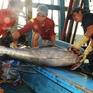 Sản lượng cá ngừ đại dương sụt giảm, ngư dân hụt hẫng