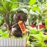 Đa dạng bonsai trâu chưng Tết