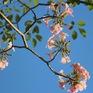 Đường phố TP Hồ Chí Minh thơ mộng trong sắc hoa kèn hồng rực rỡ