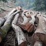 Đốn chặt trái phép hàng nghìn m2 rừng đặc dụng được bảo vệ nghiêm ngặt, nằm gần nhà dân