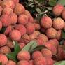 Nhật Bản ủy quyền cho Việt Nam giám sát khử trùng vải thiều xuất khẩu