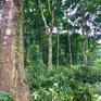 Bán tín chỉ carbon rừng: Cơ hội lớn nhưng mới dừng ở mức thí điểm