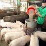 Giá thức ăn chăn nuôi tăng mạnh