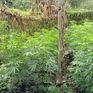 Phát hiện vụ trồng trái phép hơn 200 cây cần sa trong rẫy
