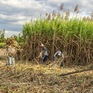 Con đường sống nào cho doanh nghiệp và nông dân trước thực trạng đường lậu hoành hành?