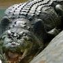 """Cá sấu tiền sử """"khủng"""" dài tới 7 mét từng sống tại Australia"""