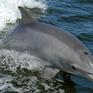 Giải cứu 3 con cá heo mũi chai có nguy cơ tuyệt chủng bị mắc kẹt trong lưới đánh cá