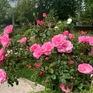 Du lịch hoa hồng hút khách sau hơn một năm đại dịch