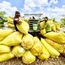 Doanh nghiệp lúa gạo vẫn khó tiếp cận nguồn vốn vay