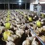 Giá gà công nghiệp thấp lịch sử chỉ... 5.000 đồng/kg