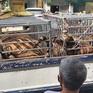 Phát hiện cơ sở nuôi nhốt 17 cá thể hổ trái phép