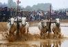 Hôm nay (19/9) diễn ra lễ hội đua bò Bảy Núi, An Giang