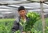 Hoa ly Tết nở sớm, người dân Tây Tựu lỗ nặng